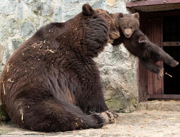 لا يعرف ما هو السبب الذي دعا أم الدب لضرب وتأنيب إبنها ولكنها بلا أدنى شك صور في غاية الروعة وستحفظ في أرشيفات صور الحياة الطبيعية من حول العالم تلك التي التقطتها عدسة مصورة الحياة الطبيعية المبدعة الأوكرانية (تات […]